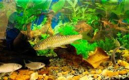 Ψάρια Kelah στοκ φωτογραφίες