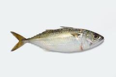 ψάρια kembong Στοκ φωτογραφία με δικαίωμα ελεύθερης χρήσης