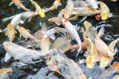 Ψάρια Koi στη λίμνη Στοκ Φωτογραφία