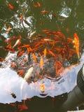 Ψάρια Koi στοκ φωτογραφία