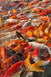 Ψάρια Koi στοκ εικόνες