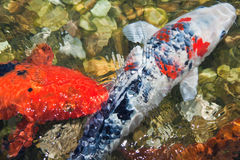 Ψάρια Koi Στοκ εικόνες με δικαίωμα ελεύθερης χρήσης