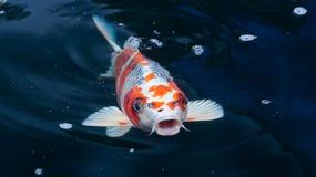 Ψάρια Koi στοκ φωτογραφία με δικαίωμα ελεύθερης χρήσης