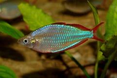 Ψάρια Melanotaenia Στοκ Φωτογραφίες