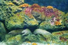 Ψάρια Moray Στοκ Φωτογραφίες