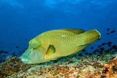 Ψάρια Napoleon υποβρύχια στις Μαλδίβες στοκ εικόνες