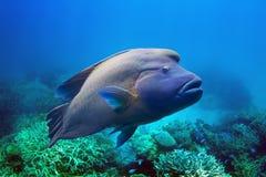 Ψάρια Napoleon Στοκ Εικόνες