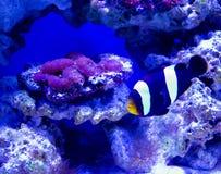 Ψάρια Nemo και Στοκ εικόνα με δικαίωμα ελεύθερης χρήσης