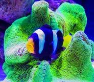 Ψάρια Nemo και anemone θάλασσας Στοκ φωτογραφία με δικαίωμα ελεύθερης χρήσης