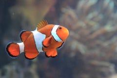 Ψάρια Nemo κλόουν Στοκ Εικόνες