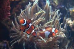 Ψάρια Nemo κλόουν Στοκ φωτογραφία με δικαίωμα ελεύθερης χρήσης
