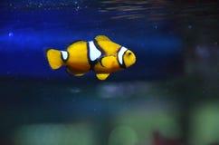 Ψάρια Nemo κλόουν Στοκ εικόνες με δικαίωμα ελεύθερης χρήσης