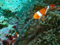 Ψάρια Nemo με το anemone θάλασσας κάτω από τη θάλασσα Στοκ Εικόνα
