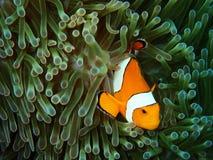 Ψάρια Nemo με το anemone θάλασσας κάτω από τη θάλασσα Στοκ εικόνες με δικαίωμα ελεύθερης χρήσης