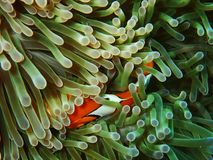 Ψάρια Nemo με το anemone θάλασσας κάτω από τη θάλασσα Στοκ Εικόνες