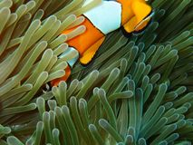 Ψάρια Nemo με το anemone θάλασσας κάτω από τη θάλασσα Στοκ εικόνα με δικαίωμα ελεύθερης χρήσης