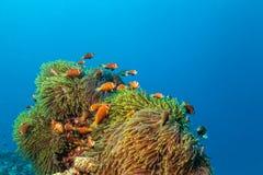 Ψάρια Nemo με το anemone οικοδεσποτών, κλόουν Anemonefish Στοκ φωτογραφία με δικαίωμα ελεύθερης χρήσης