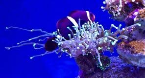Ψάρια Nemo Στοκ εικόνα με δικαίωμα ελεύθερης χρήσης