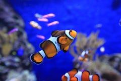 Ψάρια Nemo Στοκ Εικόνες