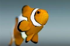 Ψάρια Nemo, clownfish - κλείστε επάνω Στοκ Φωτογραφίες