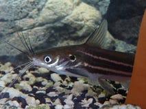 Ψάρια Pabda Στοκ Εικόνες