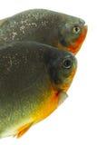 Ψάρια Pacu Tambaqui Στοκ Εικόνες