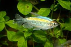 Ψάρια Phenacogrammus Στοκ Εικόνες