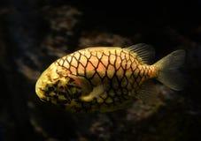 Ψάρια Pinecone Στοκ εικόνα με δικαίωμα ελεύθερης χρήσης