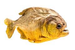 Ψάρια Piranha απομονωμένος Στοκ Εικόνα