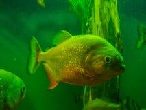 Ψάρια Piranha στο ενυδρείο, αρπακτικό πτηνό pish Στοκ εικόνα με δικαίωμα ελεύθερης χρήσης