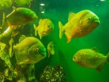 Ψάρια Piranha στο ενυδρείο Στοκ φωτογραφία με δικαίωμα ελεύθερης χρήσης