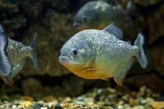 Ψάρια Piranha Στοκ Φωτογραφίες