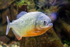 Ψάρια Piranha στοκ εικόνες