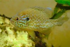 Ψάρια Pumpkinseed που κολυμπούν σε ένα ενυδρείο, πλάγια όψη Στοκ Εικόνες