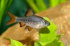 Ψάρια Puntius Στοκ Εικόνες