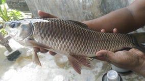 Ψάρια Rui Στοκ φωτογραφίες με δικαίωμα ελεύθερης χρήσης
