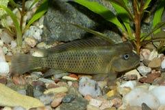 Ψάρια Steatocranus Στοκ εικόνες με δικαίωμα ελεύθερης χρήσης
