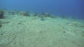 Ψάρια Stingrays στη θάλασσα φιλμ μικρού μήκους