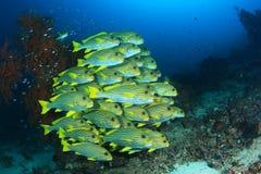 Ψάρια Sweetlips Στοκ εικόνες με δικαίωμα ελεύθερης χρήσης