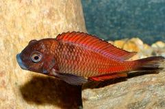 Ψάρια Tropheus Στοκ Φωτογραφία