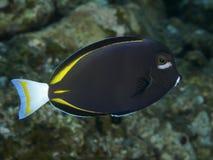 Ψάρια Whitecheek κοραλλιών surgeonfish Στοκ φωτογραφία με δικαίωμα ελεύθερης χρήσης