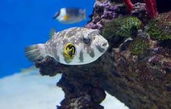 Ψάρια & x28 καπνιστών Τροπικό Fish& x29  Στοκ εικόνα με δικαίωμα ελεύθερης χρήσης