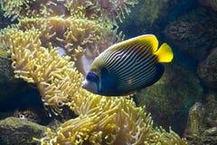 Ψάρι-άγγελος (ψάρι-αυτοκράτορας) και ακτηνία Στοκ φωτογραφίες με δικαίωμα ελεύθερης χρήσης
