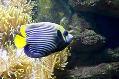 Ψάρι-άγγελος (ψάρι-αυτοκράτορας) Στοκ Εικόνα