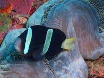 Ψάρι-κλόουν Στοκ Φωτογραφίες