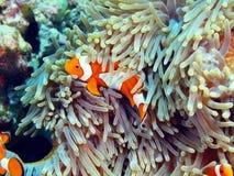 Ψάρι-κλόουν, νησί Μπαλί Στοκ Φωτογραφίες