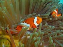 Ψάρι-κλόουν, νησί Μπαλί Στοκ εικόνες με δικαίωμα ελεύθερης χρήσης