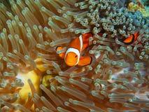 Ψάρι-κλόουν, νησί Μπαλί Στοκ Εικόνες