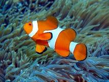 Ψάρι-κλόουν Στοκ φωτογραφίες με δικαίωμα ελεύθερης χρήσης