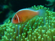 Ψάρι-κλόουν Στοκ Φωτογραφία